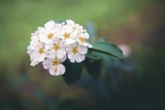 Piccoli fiori bianchi Fotografie Stock Libere da Diritti