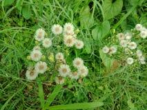 Piccoli fiori bianchi carta da parati del fondo della natura, Fotografia Stock Libera da Diritti