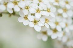 Piccoli fiori bianchi con un fondo verde fotografia stock libera da diritti