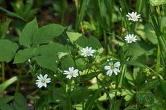 Piccoli fiori bianchi della molla Fotografia Stock Libera da Diritti
