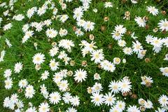 Piccoli fiori bianchi della natura per fondo Immagini Stock