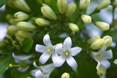 Piccoli fiori bianchi di kamini Fotografia Stock Libera da Diritti
