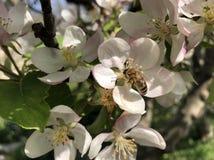 Piccoli fiori bianchi di di melo sbocciante in primavera con un'ape volante fotografie stock libere da diritti