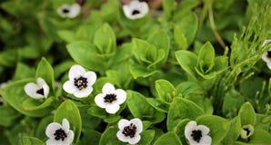 Piccoli fiori bianchi e neri nordici fotografia stock libera da diritti