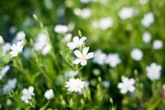 Piccoli fiori bianchi in fioritura Immagini Stock Libere da Diritti
