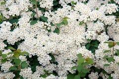 Piccoli fiori perenni bianchi del cespuglio fotografia for Fiori piccoli bianchi