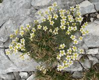 Piccoli fiori bianchi - squarrosa della sassifraga - nel parco nazionale di Triglav in Julian Alps in Slovenia Fotografia Stock
