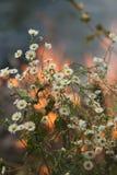 Piccoli fiori bianchi su un fondo un fuoco Immagini Stock Libere da Diritti