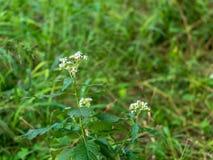Piccoli fiori bianchi su una pianta verde fertile, circondata da erba verde fotografie stock