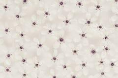 Piccoli fiori bianchi sull'acqua top In bianco e nero, seppia Reticolo floreale Nozze, fondo della molla Macro immagine stock