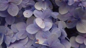Piccoli fiori blu immagini stock