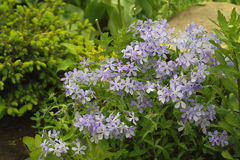 Piccoli fiori blu Immagine Stock