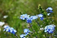 Piccoli fiori blu che ondeggiano nel vento fotografia stock libera da diritti