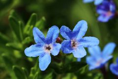 Piccoli fiori blu dal diffusa 'Heavenly Blue' di Lithodora ai quarti vicini fotografia stock