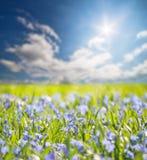 Piccoli fiori blu sotto il sole luminoso fotografia stock libera da diritti