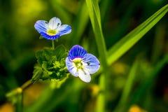 Piccoli fiori blu sul fondo dell'erba verde immagine stock libera da diritti