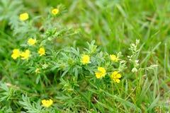Piccoli fiori del campo Fotografie Stock