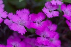 Piccoli fiori del garofano fotografia stock libera da diritti