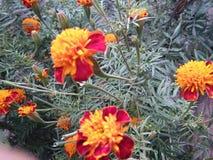 Piccoli fiori del tagete fotografia stock