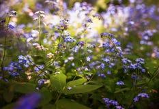 Piccoli fiori delicati del nontiscordardime di varie tonalità in primavera del giardino soleggiato stancato blu e rosa fotografia stock libera da diritti