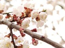 Piccoli fiori della sorgente a priorità bassa bianca Fotografia Stock Libera da Diritti