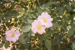Piccoli fiori dentellare Immagini Stock Libere da Diritti