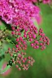 Piccoli fiori dentellare Fotografie Stock Libere da Diritti