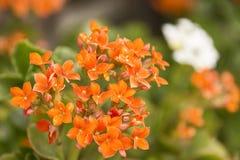 Piccoli fiori dentellare Immagini Stock