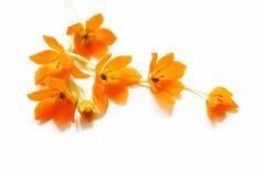 Piccoli fiori gialli Fotografie Stock