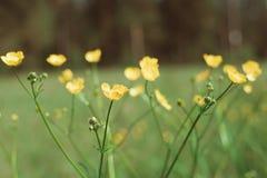 Piccoli fiori gialli con fondo scuro Fotografia Stock