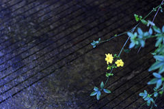 Piccoli fiori gialli del bordo della strada Fotografia Stock