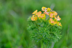 Piccoli fiori gialli ed arancio contro un fondo verde, isolato Fotografie Stock Libere da Diritti