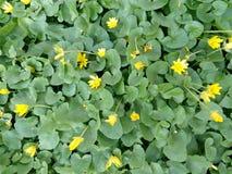 Piccoli fiori gialli fra le foglie verdi Fotografie Stock