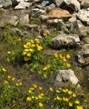 Piccoli fiori gialli in primavera con le rocce Fotografie Stock Libere da Diritti