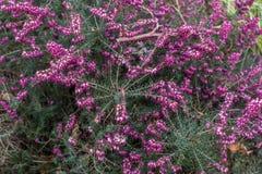 Piccoli fiori magenta - fondo Fotografie Stock