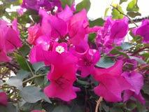 Piccoli fiori magenta impressionanti Immagine Stock Libera da Diritti