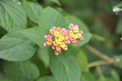Piccoli fiori naturali sulle vie Fotografia Stock