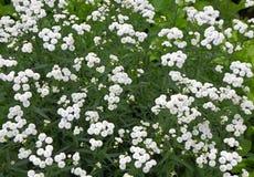 Piccoli fiori perenni bianchi del cespuglio Fotografia Stock Libera da Diritti