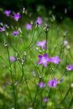 Piccoli fiori porpora nel giardino fotografia stock