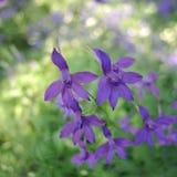 Piccoli fiori porpora sul fondo dell'erba Fotografie Stock