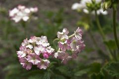 Piccoli fiori rosa & bianchi del giardino Immagine Stock