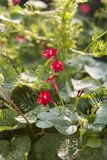 Piccoli fiori rossi Fotografia Stock Libera da Diritti