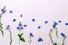 Piccoli fiori selvaggi blu Immagini Stock