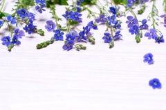 Piccoli fiori selvaggi blu Immagini Stock Libere da Diritti