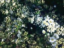 Piccoli fiori su un ramo di spirea fotografie stock libere da diritti