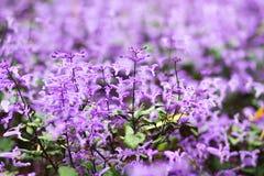 Piccoli fiori tropicali viola e bianchi Fotografie Stock Libere da Diritti