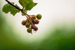Piccoli, frutti tossici con le gocce di acqua fotografie stock