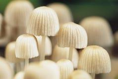 Piccoli funghi bianchi Immagine Stock