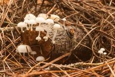 Piccoli funghi bianchi Immagini Stock Libere da Diritti