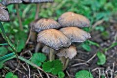Piccoli funghi bianchi Fotografia Stock